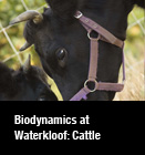 Biodynamics at Waterkloof: Cattle