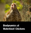 Biodynamics at Waterkloof: Chickens
