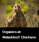 Organics at Waterkloof: Chickens